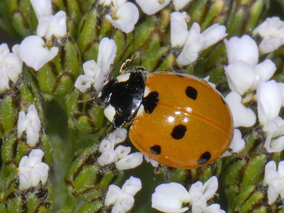 The Irish Ladybird Research Project calls on the public to help log records